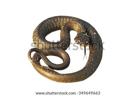 juvenile grass snake isolated over white background (Natrix ) - stock photo