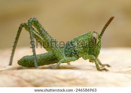 Juvenile grasshopper - stock photo