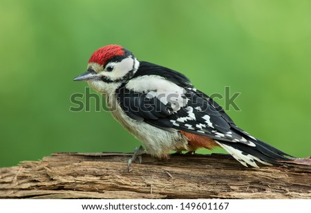 Juvenile Great Spotted Woodpecker - stock photo
