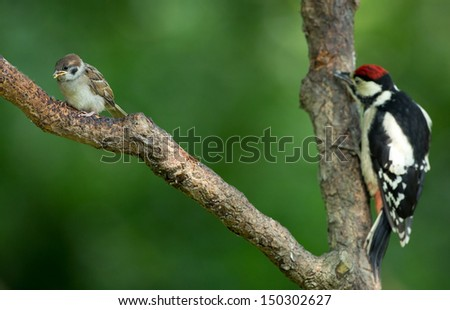 Juvenile great spotted woodpecker and a juvenile great tit on a tree - stock photo