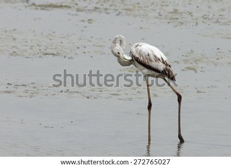 Juvenile Greater Flamingo etching - stock photo