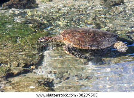Juvenile Green Sea Turtle eating the coast line of Hawaii. - stock photo