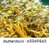 Juvenile Grunts hiding among branches of Staghorn Coral.  Picture taken in south east Florida. - stock photo