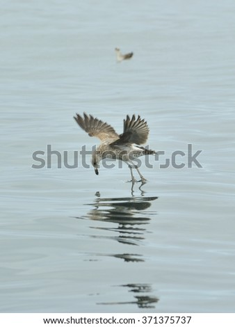 Juvenile Kelp gull (Larus dominicanus), also known as the Dominican gull and Black Backed Kelp Gull.  Blue ocean natural background . False Bay, South Africa  - stock photo