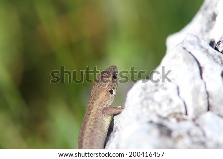 juvenile lacerta viridis ( european green lizard ) basking on limestone rock  - stock photo