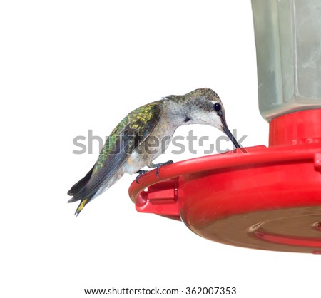 Juvenile male Ruby-throated Hummingbird (archilochus colubris) drinking from a trough. Isolated on white background - stock photo