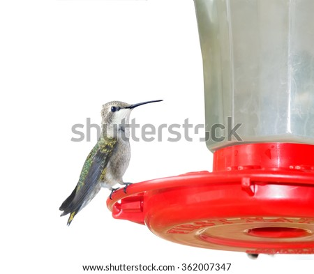 Juvenile male Ruby-throated Hummingbird (archilochus colubris) sitting on a feeding trough.  Isolated on white background - stock photo