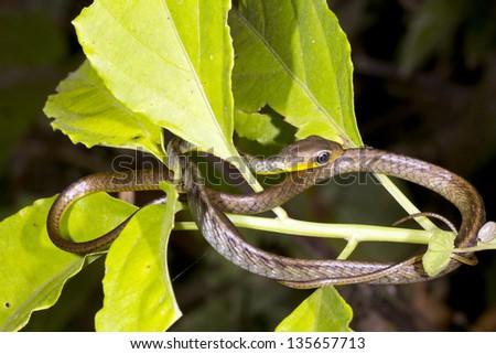 Juvenile Neotropical Whipsnake (Chironius fuscus) in the Ecuadorian Amazon - stock photo
