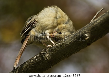 Juvenile Northern Cardinal on a dead branch scratching an itch. - stock photo