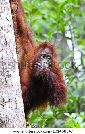 Juvenile orangutan on a tree trunk with its hand covering its mouth. Defocused green rainforest foliage is visible behind providing space for copy. - stock photo