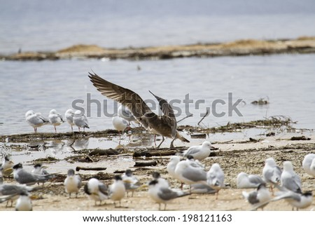 Juvenile Pacific Gull - Lake Tyers Beach, Victoria, Australia - stock photo