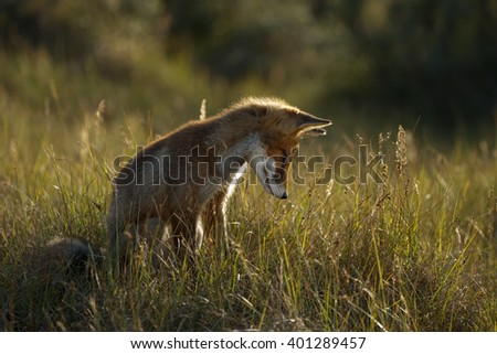 Juvenile red fox in backlight  - stock photo