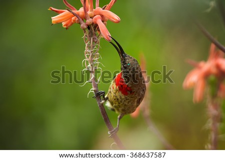 Juvenile Scarlet-chested Sunbird Chalcomitra senegalensis, colorful nectar feeding african bird, feeds with nectar from orange flower. Green abstract background. First bright red plumage on chest.   - stock photo