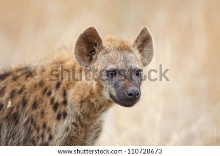 Juvenile spotted hyena in Kruger National Park - stock photo