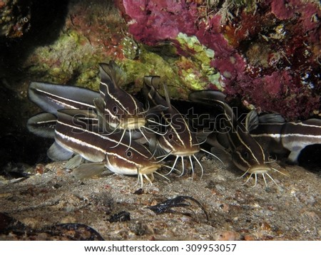 Juvenile striped eel catfish hiding in a crevice at night - stock photo