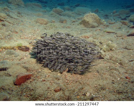 Juvenile striped eel catfish schooling over sand - stock photo