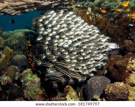 Juvenile striped eel catfish schooling under table coral - stock photo