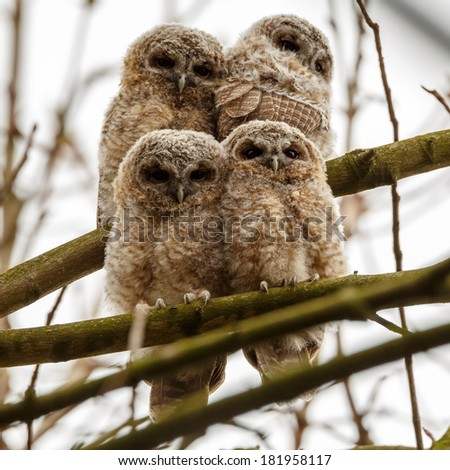 Juvenile tawny owls perched on a twig  - stock photo