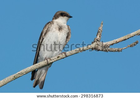 Juvenile Tree Swallow perched on a branch. - stock photo