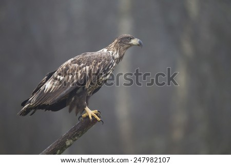 Juvenile white-tailed eagle  sits on top of broken tree stump with grey fog in background - stock photo