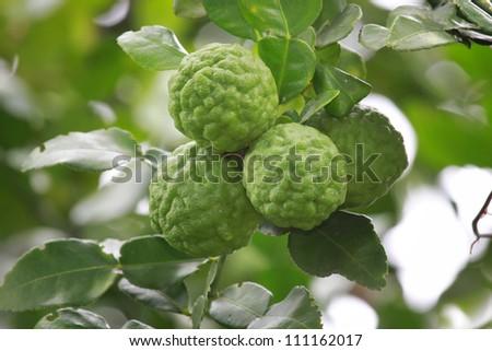 Kaffir Lime on Tree - stock photo