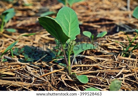 Kai lan, Chinese broccoli, Chinese kale, young plant, sprout, vegetable garden, vegetable bed, vegetable plot, soil, agriculture, edible plant, backyard garden, home-grown vegetable, organic farm - stock photo