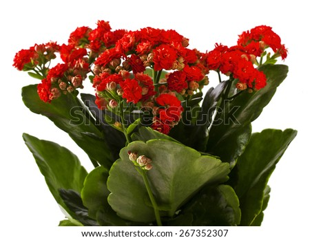 Kalanchoe bush in a plastic pot on white background - stock photo