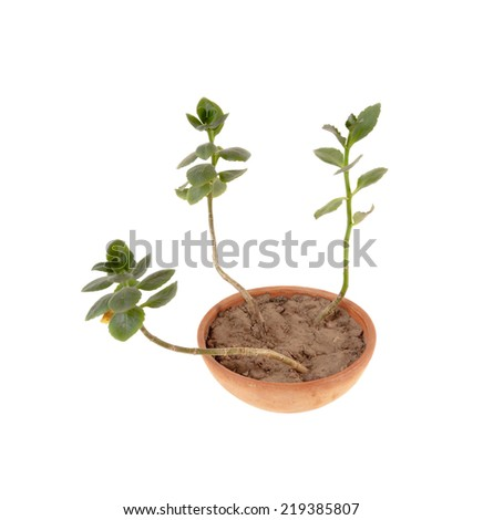Kalanchoe in a clay pot. House plant  in a clay pot  isolated over white background - stock photo