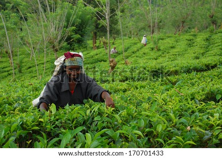 KANDY, SRI LANKA - DECEMBER 4, 2008: Smiling unidentified Tamil tea picker at work at the tea plantation.  - stock photo