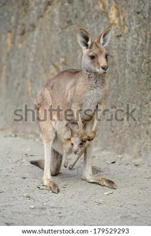 Kangaroo and Joey. - stock photo