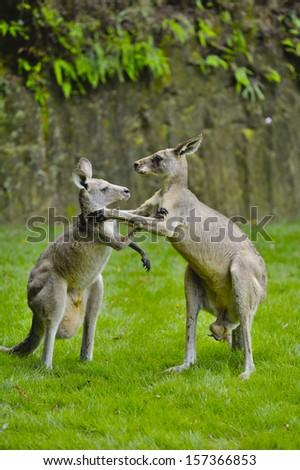 Kangaroo FIght - stock photo