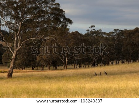 Kangaroo hiding in toll grass. Country New South Wales. Australia. - stock photo
