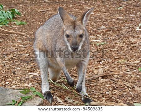 Kangaroo in Sydney Australia - stock photo