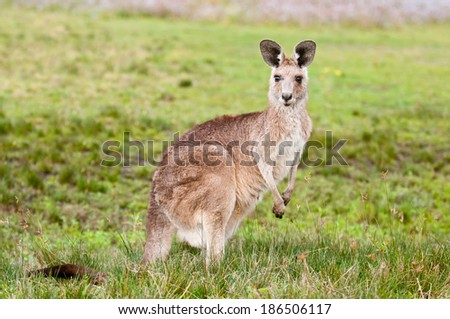Kangaroo in the wild - stock photo