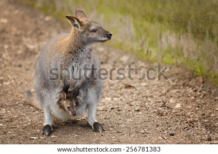Kangaroo mother with curious small baby in her pocket - stock photo