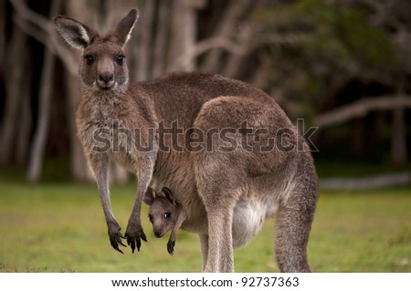 Kangaroo Mum with a Baby Joey in the Pouch - Closeup - stock photo