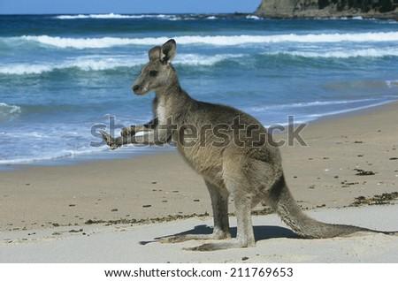 Kangaroo on beach - stock photo