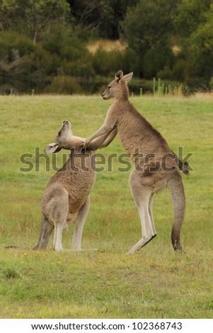 Kangaroos fighting - stock photo