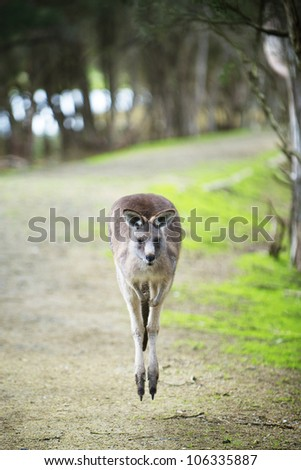Kangaroos in Phillip Island Wildlife Park - stock photo