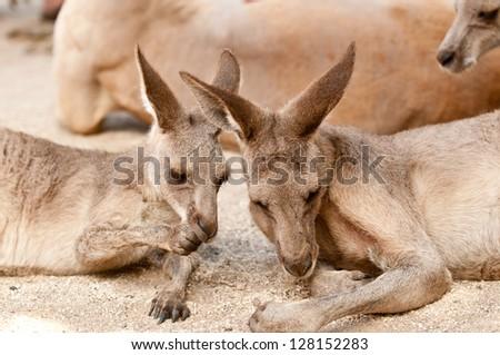Kangaroos resting - stock photo
