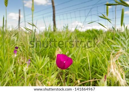 Kansas pastureland plants and flowers; purple prairie mallow - stock photo