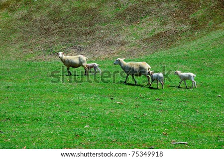 Katahdin Ewes and spring lambs relaxing in warm spring sunlight, family farm, Webster County, West Virginia, USA - stock photo
