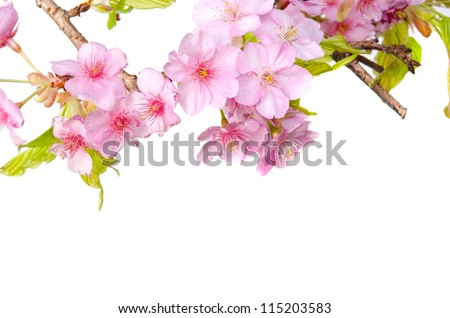 kawazu sakura - stock photo