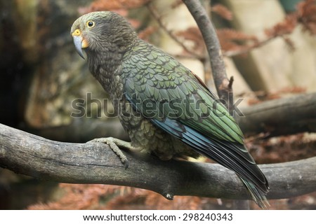 Kea (Nestor notabilis). Wildlife animal.  - stock photo