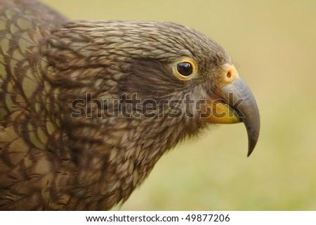 Kea Parrot at Arthur's Pass in New Zealand - stock photo