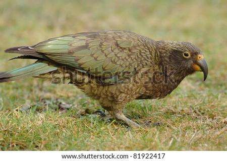 Kea Parrot £Nestor notabilis) at Arthur's Pass, New Zealand - stock photo