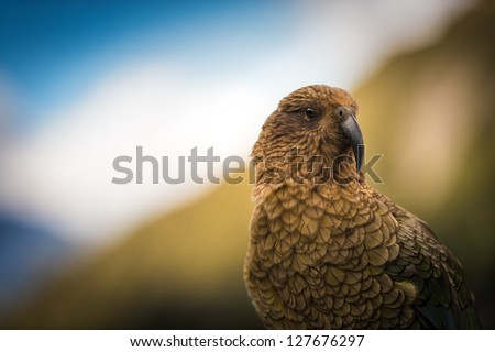 KEA - The world on alpine parrot - stock photo