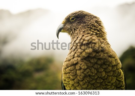 Kea, worlds only alpine parrot only found in New Zealand - stock photo