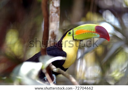 Kee billed Toucan Ramphastos sulfuratus colorful Tucan bird in zoo - stock photo