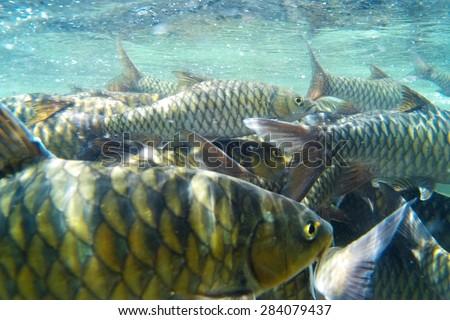 Kelah Or Mahseer In Aquarium, also known as Mahseer (Indian), Kurriah, Kukkhiah, Kajra in Southern India  - stock photo